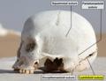 WhiteDesertSkullCropped - Lambdoid suture.png