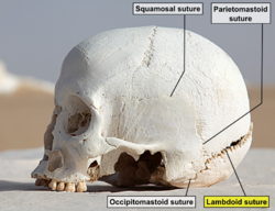 WhiteDesertSkullCropped - Lambdoid suture.png
