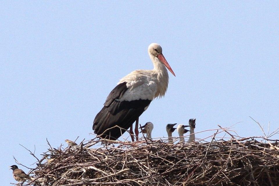 White Stork (Ciconia ciconia) (8079450901)