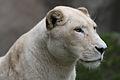 White lion (4037391131).jpg