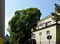 Wiener Naturdenkmal 501 - Spitzahorn (Döbling) b.jpg