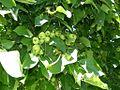 Wild Apples (4223685083).jpg