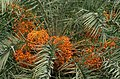 Wild Date Palm (Phoenix sylvestris) fruits in Kolkata W IMG 4206.jpg