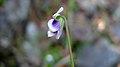 Wild Violet flower (15418220444).jpg