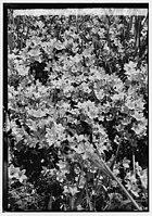 Wild flowers of Palestine. Venus' looking-glass (Specularia speculum-veneris) LOC matpc.00191.jpg