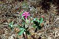 Wild geranium flower plant geranium maculatum.jpg