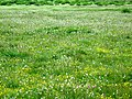 Wildflowers on the Tibetan Plateau.jpg