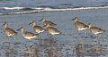 Willet, Tringa semipalmata, Moss Landing and Monterey area, California, USA. (30618426570).jpg
