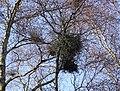Witch's Broom galls on a Birch Tree, Montgreenan, North Ayrshire, Scotland.jpg
