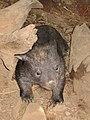 90px-Wombat4