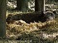 Wurfnest Wildschweinbache mit Frischlingen Ketsch.JPG