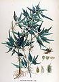 Xanthium spinosum — Flora Batava — Volume v17.jpg