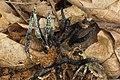 Xylaria cornu-damae 441866.jpg