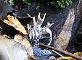 Xylaria hypoxylon - Geweihförmige Holzkeule2ZF.jpg