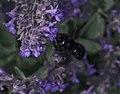 Xylocopa violacea on Nepeta cataria.jpg