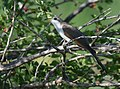 Yellow-billed Cuckoo (34996514216).jpg