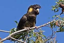 Yellow-tailed black cockatoo05.jpg