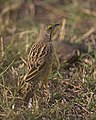 Yellow-throated Longclaw (Macronyx croceus) (20531175353).jpg