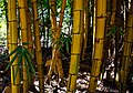 Yellow Bamboo in Malawi.jpg