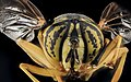 Yellow Jacket Mimic Fly, U, Face, MD, Cecil County 2013-07-31-20.34.08 ZS PMax (9423109362).jpg