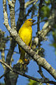 Yellow Weaver - Natal - South Africa S4E8341 (22662476200).jpg
