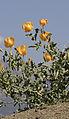 Yellow horned poppies - Glaucium sp 05.jpg
