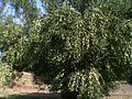 Yerakini Green Olives. Oct 2014.jpg