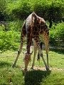 Young Giraffe Enjoying.jpg