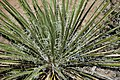 Yucca glauca (soapweed yucca) (Red Canyon overlook, Colorado National Monument, Colorado, USA) 5 (23360912173).jpg
