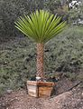 Yuccafaxoniana.jpg