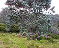 Z Silvertree - Leucadendron argenteum - CT 2.jpg