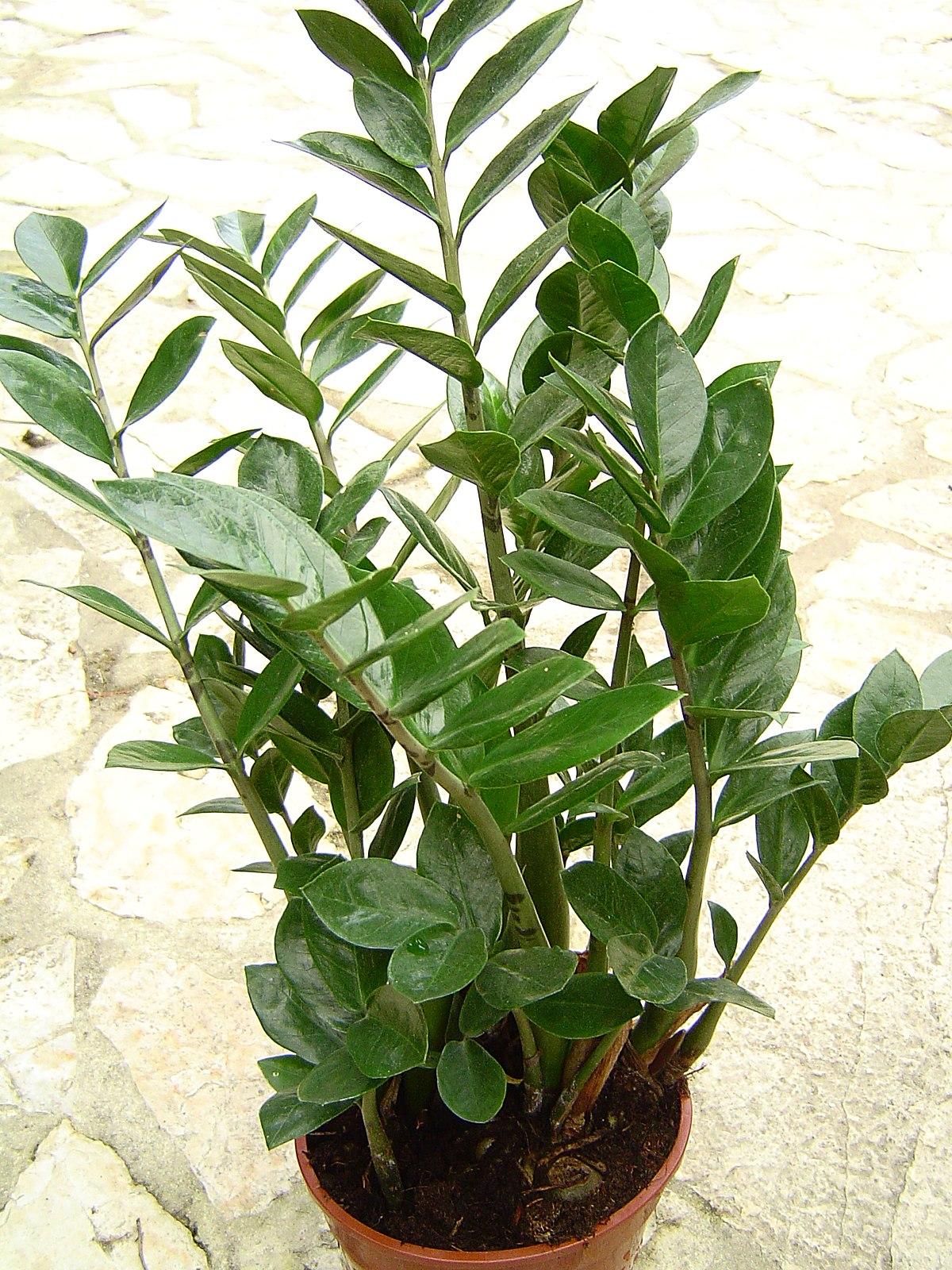 Комнатные цветы фото с названиями замиокулькас