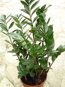 Zamioculcas zamiifolia 1