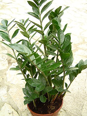 Description de l'image Zamioculcas_zamiifolia_1.jpg.