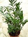 Zamioculcas zamiifolia 1.jpg