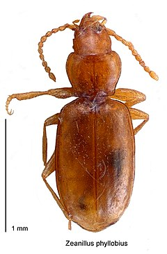 240px zeanillus phyllobius