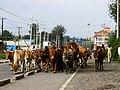 Zebu cows in the streets.jpg