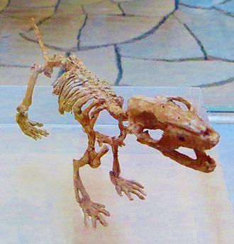 Zhangheotherium - Reconstructed skeleton
