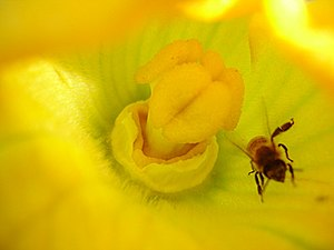 English: Zucchini flower being pollinated by a...