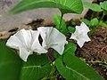 """""""+arya+"""" white flowers of water spinach 2021 01.jpg"""