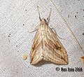 (1356) Garden Pebble (Evergestis forficalis) (3185105278).jpg