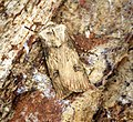 (2092) Shuttle-shaped Dart (Agrotis puta) (27084891621).jpg
