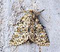 (2252) Large Ranunculus (Polymixis flavicincta) - Flickr - Bennyboymothman (1).jpg