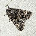 (2278) Poplar Grey (Acronicta megacephala) (4685937181).jpg