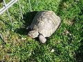 Želva domácí.JPG