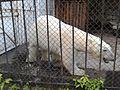 Белый медведь 1 (Penza Zoo 2016).jpg