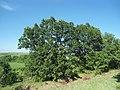 Благун - дървета 2.jpg