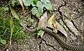 Водяной уж - Natrix tesselata - Dice snake - Сива водна змия - Würfelnatter (23238121625).jpg
