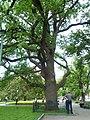 Дуб 1775 року народження в саду Шевченка.jpg