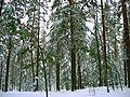 Зимний лес - panoramio - alinco fan (1).jpg